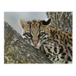 Ocelot, Felis pardalis, captive, female resting 2 Post Cards