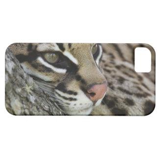 Ocelot, Felis pardalis, captive, female resting iPhone 5 Case