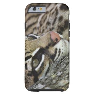 Ocelot, Felis pardalis, captive, female resting Tough iPhone 6 Case