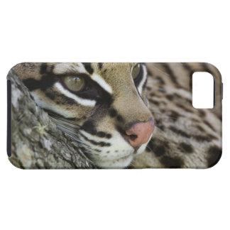 Ocelot, Felis pardalis, captive, female resting iPhone 5 Covers