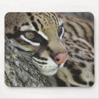 Ocelot, Felis pardalis, captive, female resting Mouse Pad