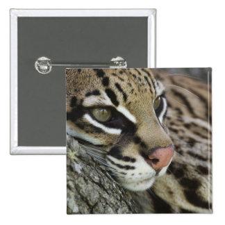 Ocelot, Felis pardalis, captive, female resting Pinback Button