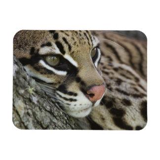 Ocelot, Felis pardalis, captive, female resting Rectangular Photo Magnet