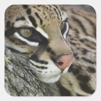 Ocelot, Felis pardalis, captive, female resting Square Sticker