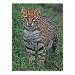 OCELOT Leopardus pardalis) CENTRAL AMERICA Post Card