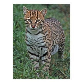 OCELOT Leopardus pardalis) CENTRAL AMERICA Postcard