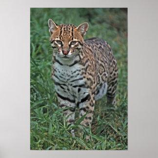 OCELOT Leopardus pardalis) CENTRAL AMERICA Posters