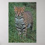 OCELOT Leopardus pardalis) CENTRAL AMERICA Print