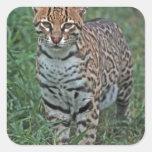 OCELOT Leopardus pardalis) CENTRAL AMERICA Square Stickers