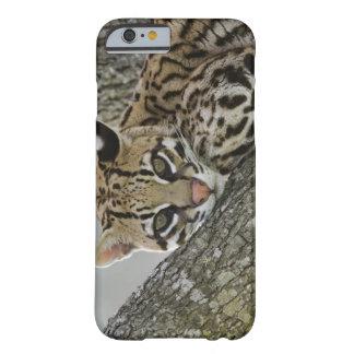 Ocelot, pardalis del Felis, cautivo, hembra que Funda Barely There iPhone 6