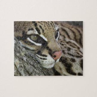 Ocelot, pardalis del Felis, cautivo, reclinación f Puzzles Con Fotos