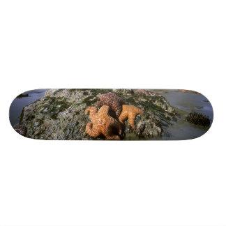 Ochre Seastars Pisaster ochraceous) Shi-Shi Skateboard Deck