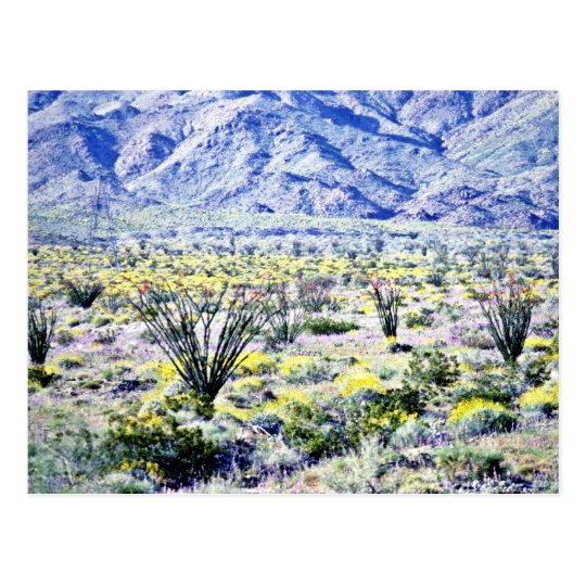 Ocotillo And Desert Flowers In Bloom Postcard