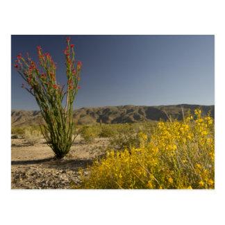 Ocotillo and desert senna postcard