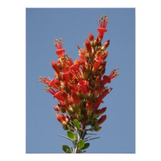 Ocotillo Bloom print
