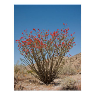Ocotillo Posters