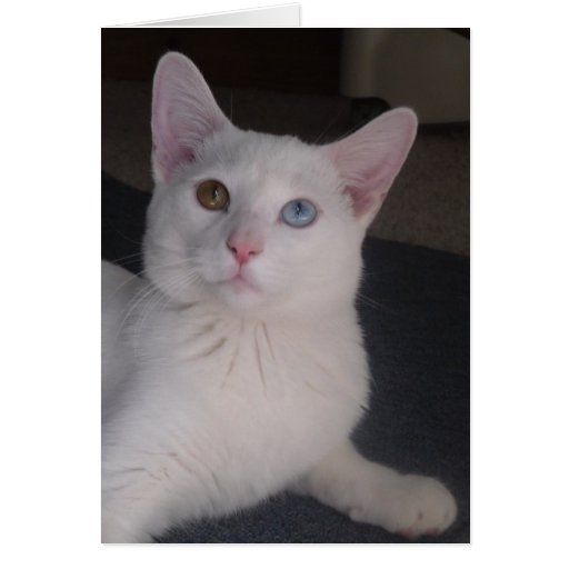 Odd Eye White Cat Greeting Card