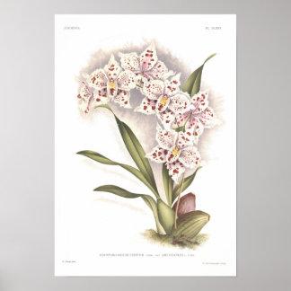 Odontoglossum crispum poster