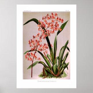 Odontoglossum edwardii poster
