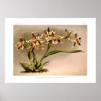 Odontoglossum hallii xanthoglossum poster