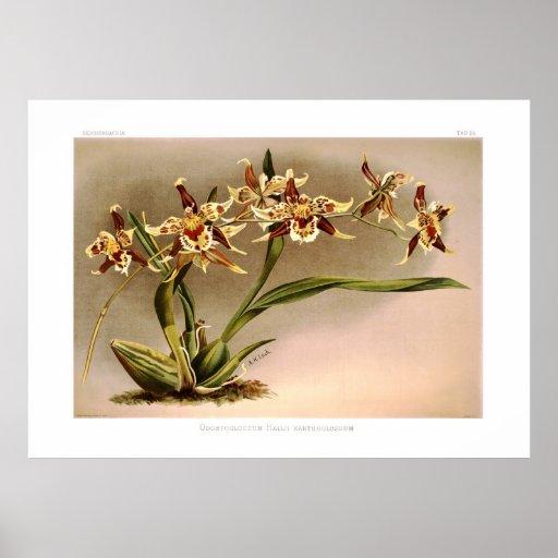 Odontoglossum hallii xanthoglossum print