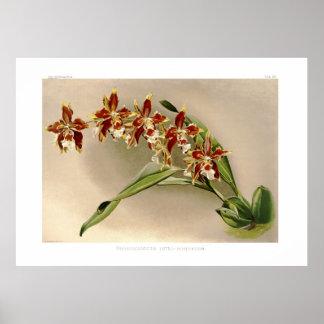 Odontoglossum luteo-purpureum poster