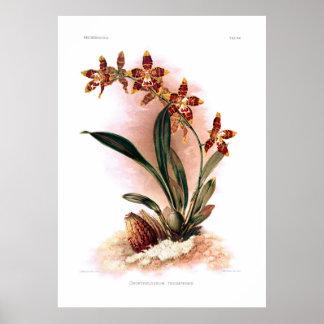 Odontoglossum triumphans poster