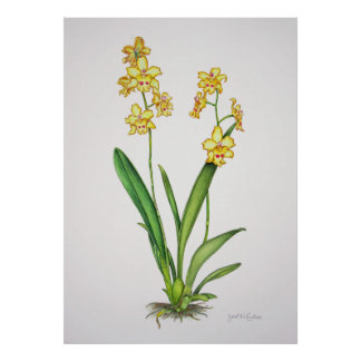Odontonia Orchid Poster