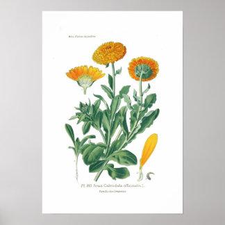 Officinalis del Calendula (maravilla de pote) Impresiones