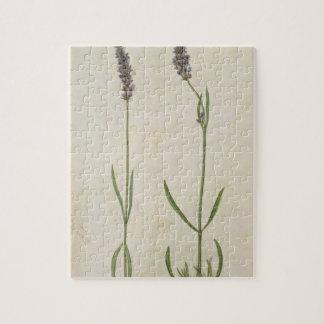 Officinalis del Lavandula (lavanda inglesa vieja), Puzzles Con Fotos
