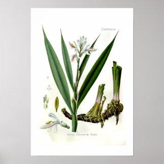 Officinarum del Alpinia (Galangal) Póster