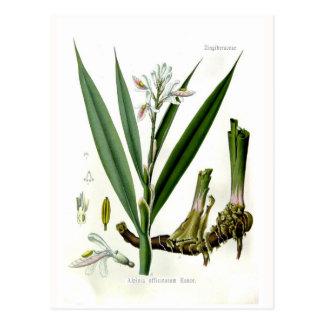 Officinarum del Alpinia (Galangal) Postal