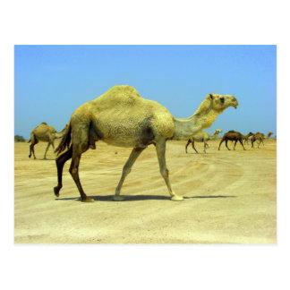 Oh día feliz - camellos en el desierto tarjetas postales