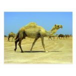 Oh happy day - camels in the desert postcard
