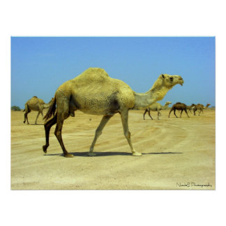Oh happy day - camels in the desert poster
