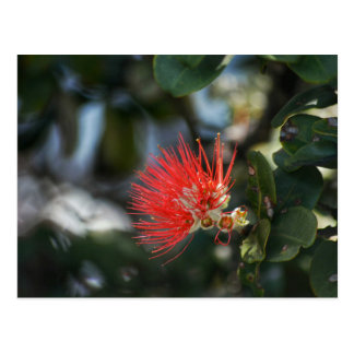 Ohia Lehua Blossom Postcard