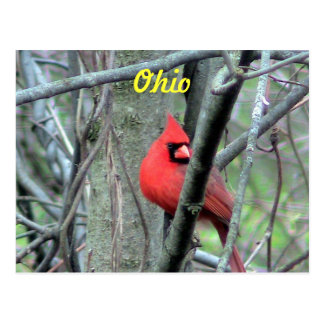 Ohio Cardinal Postcard