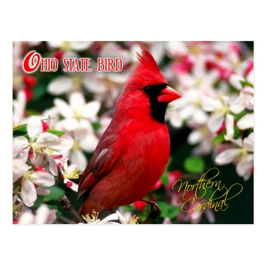 Ohio State Bird Northern Cardinal Postcard Zazzle