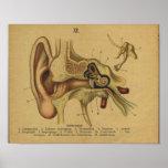Oído alemán de la impresión de la anatomía de Vina Poster