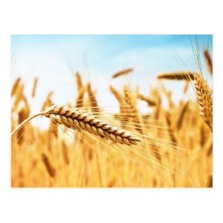 Oídos del trigo de oro contra campo de trigo tarjetas postales