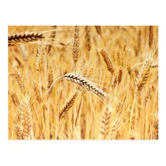 Oídos del trigo de oro listos para la cosecha tarjeta postal