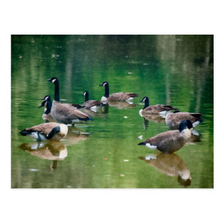 Oil painted Canadian geese post card