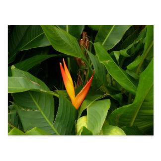 Oiseau-de-Paradis - Martinique, FWI Postcard