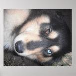 Ojo de Brown del ojo azul uno del perro esquimal u Poster