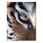Ojo de un tigre tarjetas postales