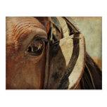 Ojo del caballo de Amish Tarjeta Postal