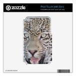 Ojos africanos salvajes del leopardo iPod touch 4G calcomanías
