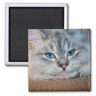 Ojos azules del gato hermoso imán cuadrado