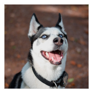 Ojos azules del perro del husky siberiano póster