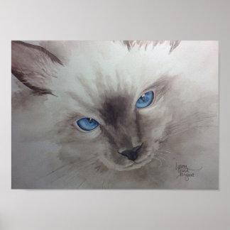 Ojos de Ragdoll Póster